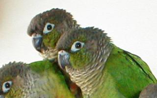 Как отучить попугая грызть обои и кусаться